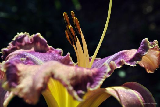 Day Lily in the Sun by wmartin1963