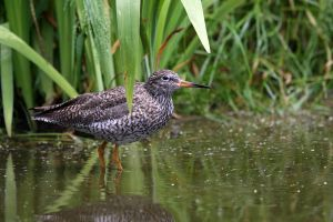 Redshank by cycoze
