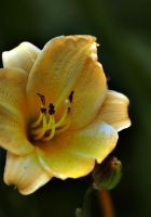 yellow trumpet by awjay