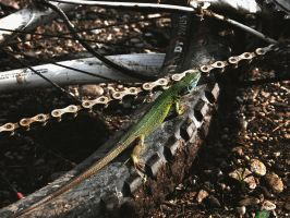 lizard on my bike by Rumburak512