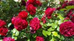 Red Rose  by ng9