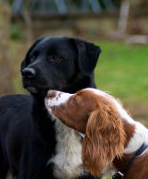 Day Forty Five: Buddy and the Spaniel by Kaz-D