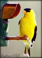 American Golden Finch by sunflowervlg