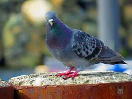 The Stare Of A Pigeon by wolfwings1