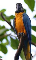 Blue-and-yellow Macaw by Parides