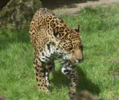 jaguar in Zoo 3 by ingeline-art