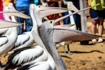 Hungry Pelicans by GRAHAMNEL