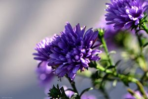 Asters by WickedOwl514