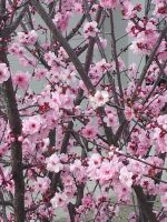 Blossoms of pink by Roses-and-Feathers