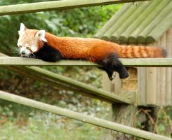 Red Panda 2 by nathanshane