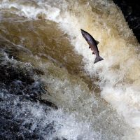 Leaping salmon by gdelargy