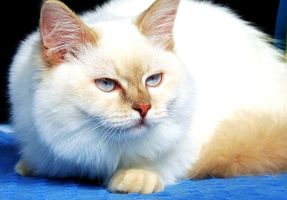 Red Point Birman by TemariAtaje