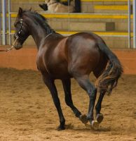 STOCK - 2014 Andalusian Nationals-94 by fillyrox