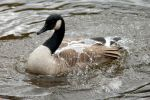 Water off a Goose's Back by GhostInThePines