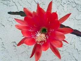 Cactus Flower IV by MikeHungerford
