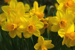 Red Butte - Daffodils 2 by LycanDID