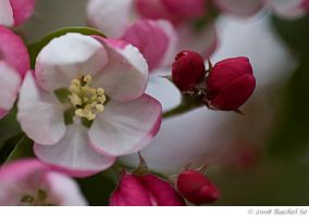Peppermint Crabapple I by butterfly36rs