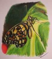 prismacolor butterfly by SusHi182