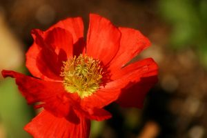 Red Poppy by Vividlight