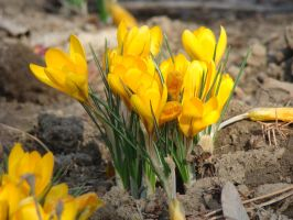 Yellow crocuses by blueionis