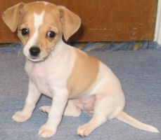Baby Chihuahua by lestnill