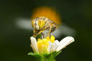 Yellow Eyed Hoverfly 01 - akpsphotowork by akpsphotowork