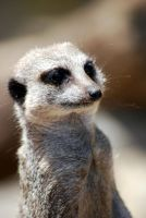 Meerkat by Aniallation