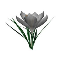 White Crocus by TexelGirl-Stock