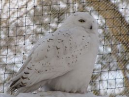 Snowy Owl 03 by animalphotos