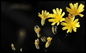 little yellow flowers by Kaleena127