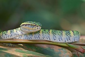 Wagler's pit viper by melvynyeo