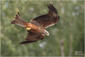 2011-116 Red Kite by W0LLE