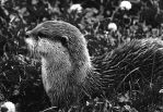Otter in Black and White by Shadow-and-Flame-86