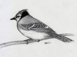 Blue Jay by RobtheDoodler