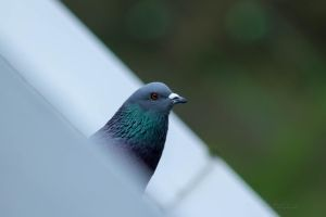 Le Pigeon by hubert61