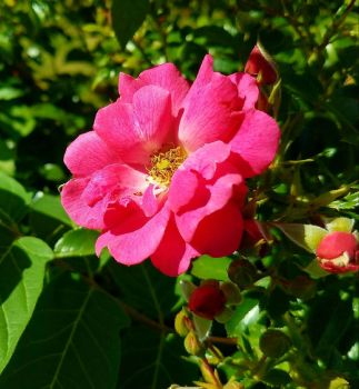 Rose and buds by GUDRUN355