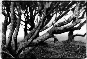 Gnarled branches by dowekeller