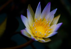 little waterlily by ReisLie