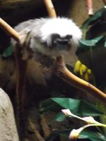 Cotton-Top Tamarin by Deede25