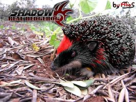 Shadow the Real Hedgehog by Alrow