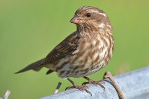 Female House Finch by wreckingball34