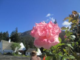 Rose, the flower of Oregon by AnaturalBeauty