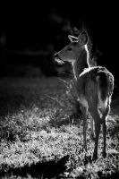 B+W-tailed Fawn by hoboinaschoolbus