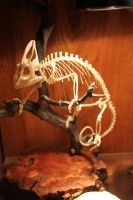 Articulated Veiled Chameleon Skeleton by BluesCuriosities