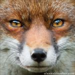 Foxy by Alannah-Hawker
