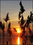 sunny reeds by malval