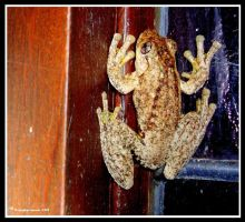 Perons Tree Frog by BreeSpawn