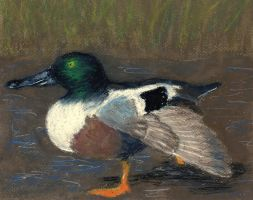 Northern Shoveler by Cuthillius