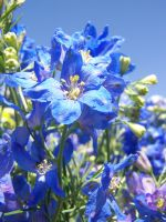 Blue Flowers by theNanna