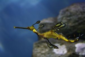 Weedy Sea Dragon 3 by KathyHW